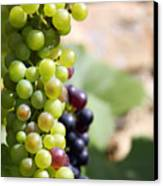 Grapes Canvas Print by Jane Rix