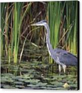 Great Blue Heron Canvas Print by Natural Selection David Spier