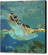 Green Sea Turtle Chelonia Mydas Canvas Print by Tim Fitzharris