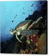 Green Sea Turtle Resting On A Plate Canvas Print by Mathieu Meur