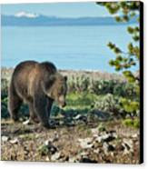 Grizzly Sow At Yellowstone Lake Canvas Print by Sandra Bronstein