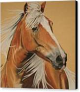 Haflinger  Canvas Print by Melita Safran
