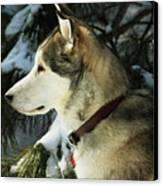 Handsome Husky Nanuk Canvas Print by Marjorie Imbeau