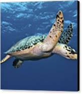 Hawksbill Sea Turtle In Mid-water Canvas Print by Karen Doody