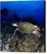 Hawksbill Turtle Swimming With Diver Canvas Print by Steve Jones