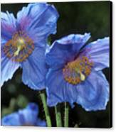 Himalayan Poppy (meconopsis Grandis) Canvas Print by Dr Keith Wheeler