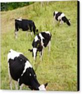 Holstein Cattle Canvas Print by Gaspar Avila