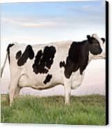 Holstein Dairy Cow Canvas Print by Cindy Singleton