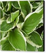 Hostas 1 Canvas Print by Anna Villarreal Garbis