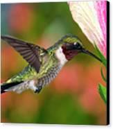 Hummingbird Feeding On Hibiscus Canvas Print by DansPhotoArt on flickr