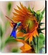 Hummingbird On Sunflower Canvas Print by John  Kolenberg