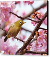 Japanese White-eye On Cherry Blossoms Canvas Print by David A. LaSpina