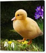 Just Ducky Canvas Print by Bob Nolin