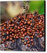 Ladybugs On Branch Canvas Print by Garry Gay