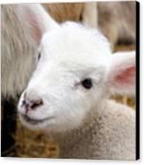 Lamb Canvas Print by Michelle Calkins