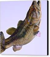 Largemouth Bass Side Profile Canvas Print by Corey Ford