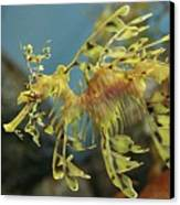 Leafy Sea Dragon Canvas Print by Yue Chen