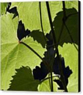 Leaves Of Wine Grape Canvas Print by Michal Boubin