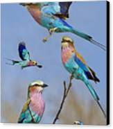 Lilac-breasted Roller Collage Canvas Print by Basie Van Zyl