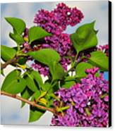 Lilacs Canvas Print by Catherine Reusch  Daley