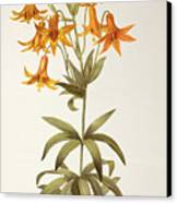 Lilium Penduliflorum Canvas Print by Pierre Joseph Redoute