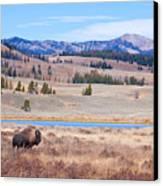 Lone Bull Buffalo Canvas Print by Cindy Singleton