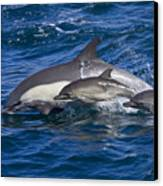 Long-beaked Common Dolphins, Delphinus Canvas Print by Ralph Lee Hopkins