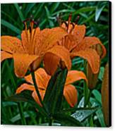 Long Valley Lily Canvas Print by Robert Pilkington