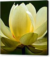 Lotus Blossom Canvas Print by Christopher Holmes