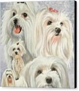 Maltese Collage Canvas Print by Barbara Keith