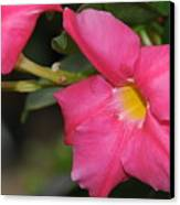 Mandevilla Canvas Print by Patrick  Short