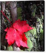 Maple Leaf Still Life Canvas Print by Charles Warren