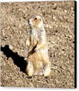 Mean Old Prairie Dog Canvas Print by Christopher Wood