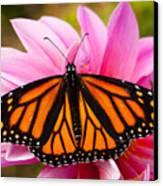 Monarch And Dahlia Canvas Print by Steve Augustin