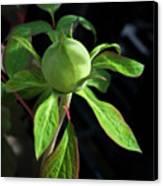 Monstrous Plant Bud Canvas Print by Douglas Barnett