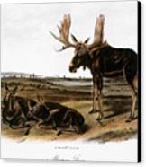Moose Deer (cervus Alces) Canvas Print by Granger