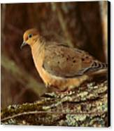 Mourning Dove At Dusk Canvas Print by Amy Tyler