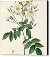 Musk Rose Canvas Print by Pierre Joseph Redoute