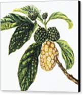 Noni Fruit Canvas Print by Hawaiian Legacy Archive - Printscapes