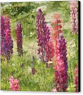 Nova Scotia Lupine Flowers Canvas Print by Jeff Kolker