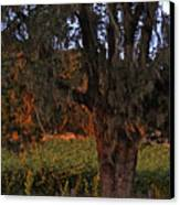 Oak Tree And Vineyards In Knight's Valley Canvas Print by Charlene Mitchell