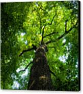 Old Growth Canvas Print by David Lee Thompson