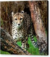 On The Prowl Canvas Print by Heather Thorning