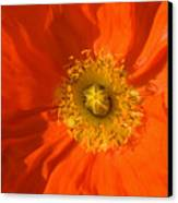 Orange Poppy Flower Canvas Print by Julia Hiebaum