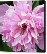 Peony Perfection Canvas Print by Angelina Vick