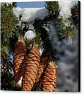 Pinecones Hanging From A Snow-covered Fir Tree Branch Canvas Print by Sami Sarkis