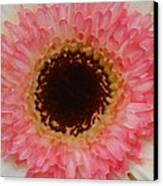 Pink And Brown Gerber Center Canvas Print by Amy Vangsgard