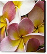 Pink Frangipani Canvas Print by Avalon Fine Art Photography