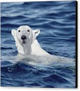 Polar Bear Swimming Baffin Island Canada Canvas Print by Flip Nicklin