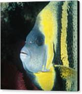 Portrait Of A Cortez Angelfish Canvas Print by James Forte